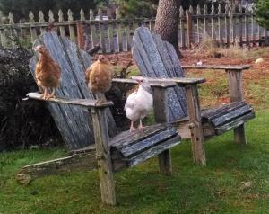 chicken seat