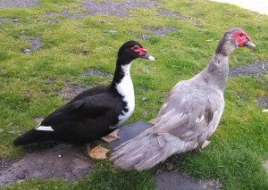 First breeding pair, Daphney and Lav 2014